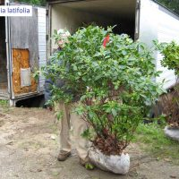 4-5_-Kalmia-latifolia
